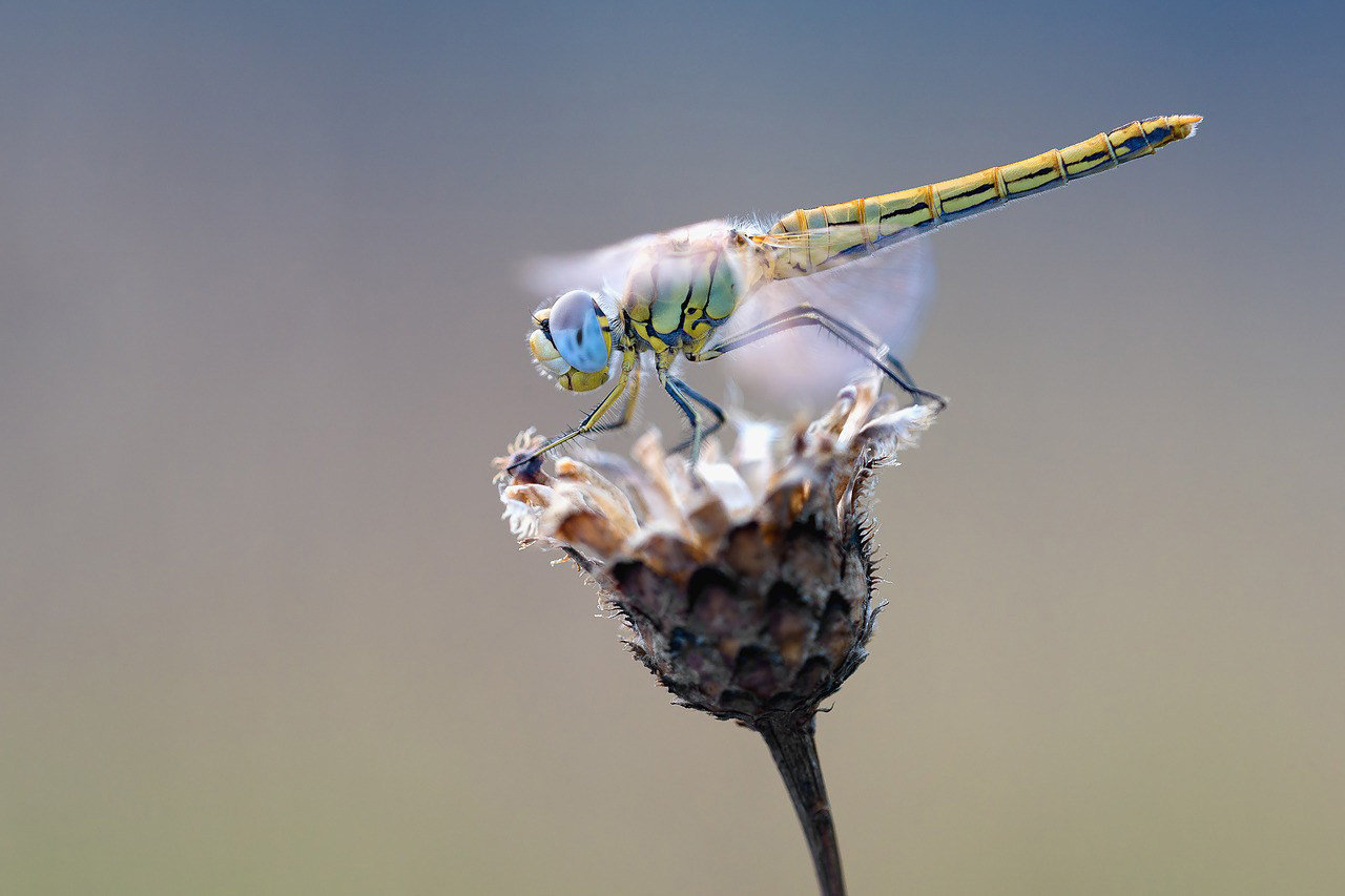 Médecine de la libellule 1
