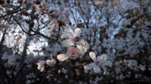 Cerisier en Fleur pour une séance Reiki 3