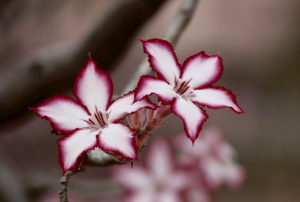 Fleurs Karuna Ki 1