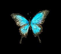 Papillon-bleu-ciel-1 3