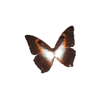 Papillon-orangé-noir-1 3